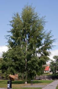 ORNASBJØRK